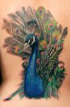 peacock tattoo pic on back